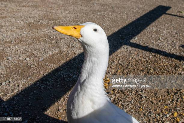 large white heavy duck also known as america pekin, long island duck, pekin duck, aylesbury duck - pekin duck stock pictures, royalty-free photos & images