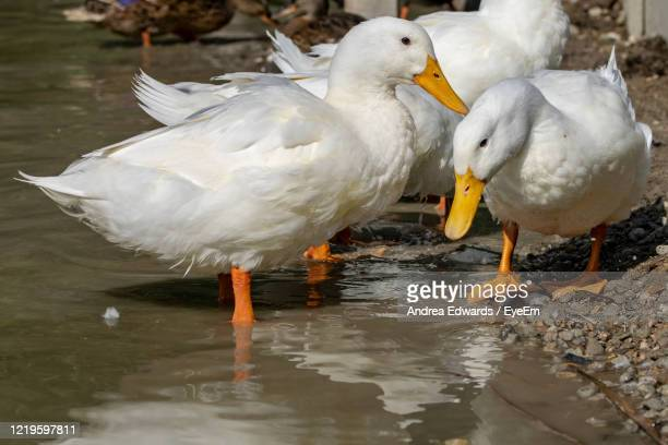 large white heavy pekin aylesbury ducks in shallow water - pekin duck stock pictures, royalty-free photos & images