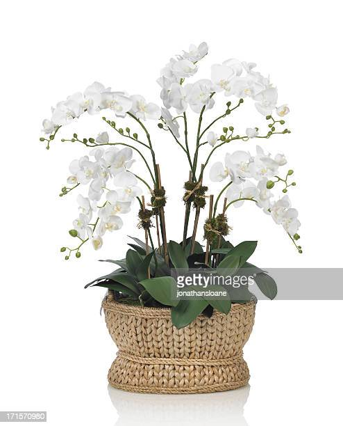 Large white orchid in a basket on white background