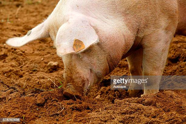 large white pig stock photos and pictures getty images