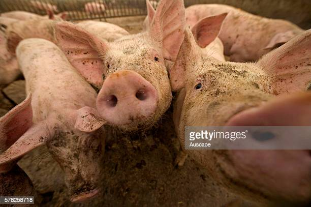 Large white pigs Sus scrofa domesticus group A breed widely used for crossbreeding by commercial pig farmers for high quality meat production Sarthe...