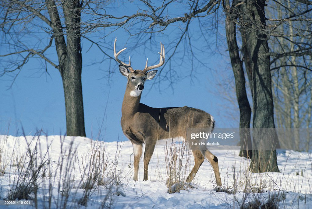 Large whitetail deer buck on snowy hillside : Stock Photo