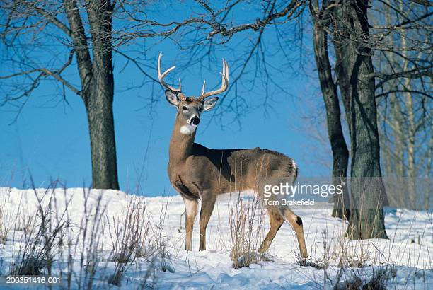 Large whitetail deer buck on snowy hillside