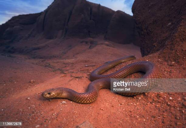 large, wild king brown/mulga snake (pseudechis australis) from south central new south wales, australia - brown stock pictures, royalty-free photos & images