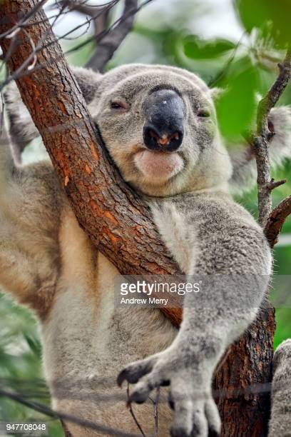 Large, wild male Koala hanging in eucalyptus tree, Magnetic Island