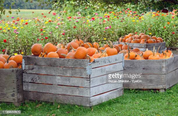 large wooden crates are filled with a pile of  orange pumpkins at a farm in michigan usa - holzkiste stock-fotos und bilder