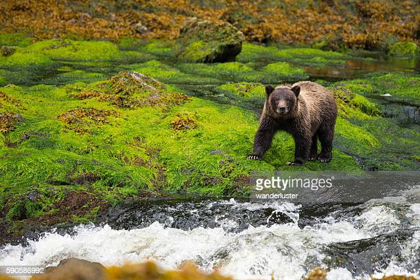 Large yearling grizzly cub in Alaska rainforest