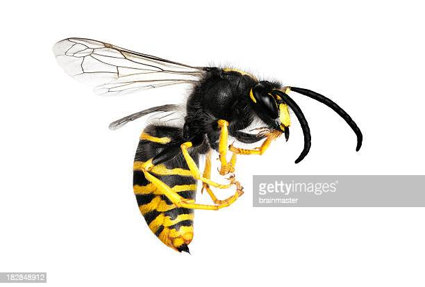 A large yellow and black wasp isolated on white