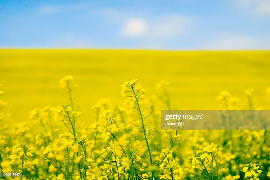 Large yellow field of rape seeds : Stock Photo