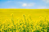 Large yellow field of rape seeds