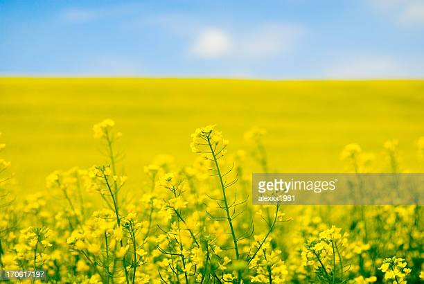 large yellow field of rape seeds - field stock pictures, royalty-free photos & images