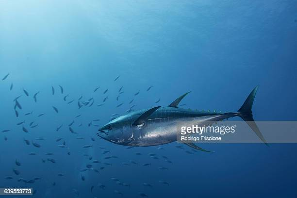 large yellowfin tuna (thunnus albacares) launches at amazing speed towards school of mackerel - mackerel stock pictures, royalty-free photos & images