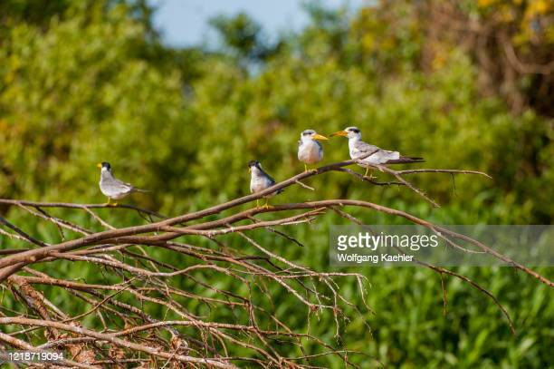 Large-billed tern is sitting on a branch of a tree in the Cuiaba River near Porto Jofre in the northern Pantanal, Mato Grosso province in Brazil.