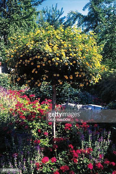 Largeleaf Lantana or Wild Sage Verbenaceae