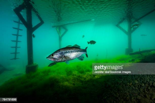 largemoouth bass hiding under the dock in lake phoenix, virginia. - freshwater sunfish stock photos and pictures