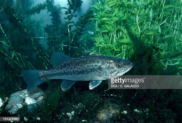 Largemouth Bass also known as Black Bass or Bigmouth Centrarchidae