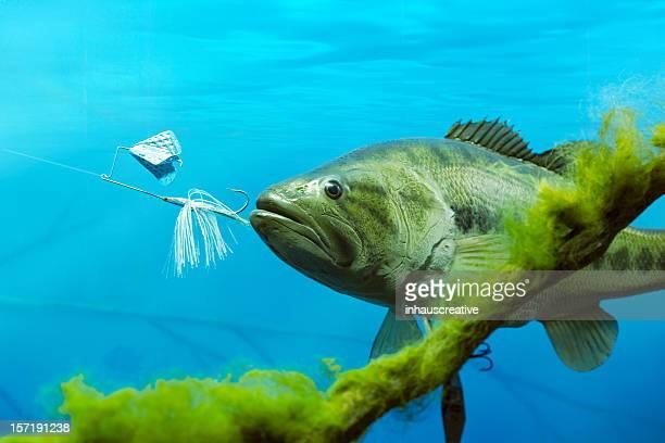 Largemouth Bass Chasing Lure