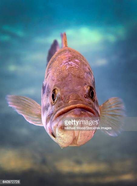 a largemouth bass faces off with the underwater photographer. - largemouth bass stock pictures, royalty-free photos & images