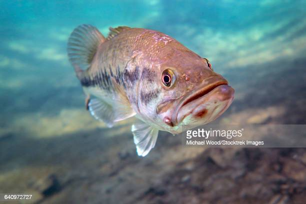 a largemouth bass faces swimming in ponce de leon springs, florida. - largemouth bass stock pictures, royalty-free photos & images
