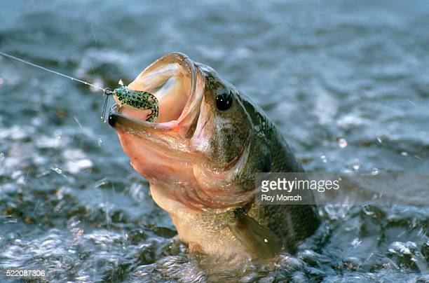 largemouth bass in water - largemouth bass stock pictures, royalty-free photos & images