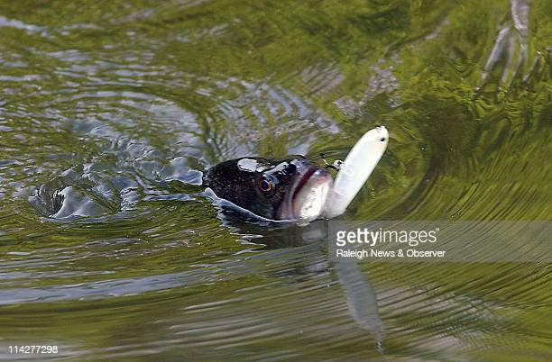 A largemouth bass is removed from hook May 6 2011 at Harris Lake in New Hill North Carolina