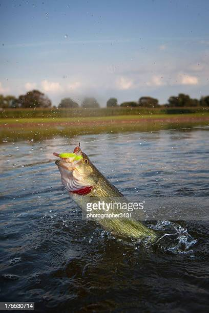 Largemouth Bass Jumping Across the Water
