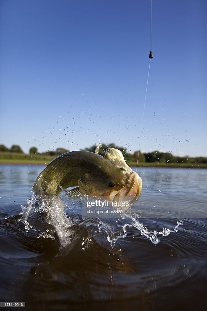 Largemouth bass jumping out of the water stock photo for Idaho out of state fishing license