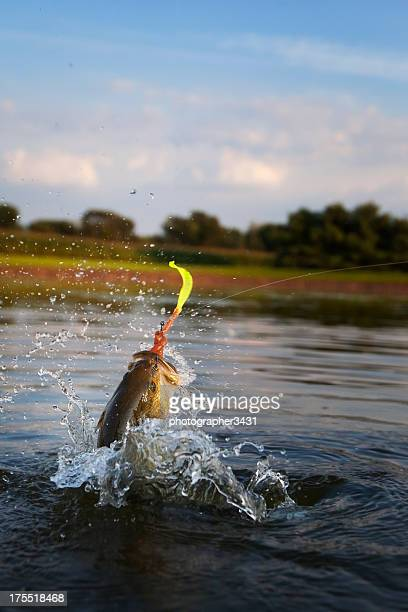 Largemouth Bass Jumping