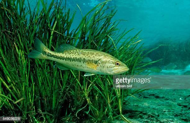 Largemouth bass Micropterus salmoides USA Florida FL
