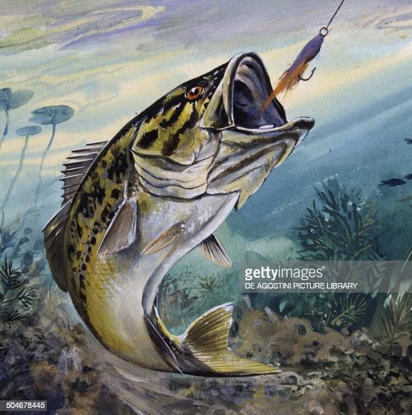 largemouth bass or black bass centrarchidae drawing