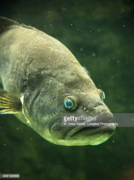 largemouth bass - largemouth bass stock pictures, royalty-free photos & images