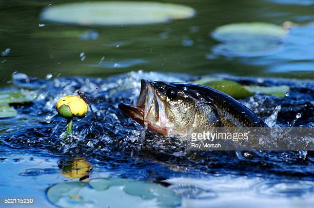 largemouth bass trying for a dragonfly - largemouth bass stock pictures, royalty-free photos & images