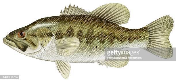 Largemouth Black Bass Largemouth Black Bass