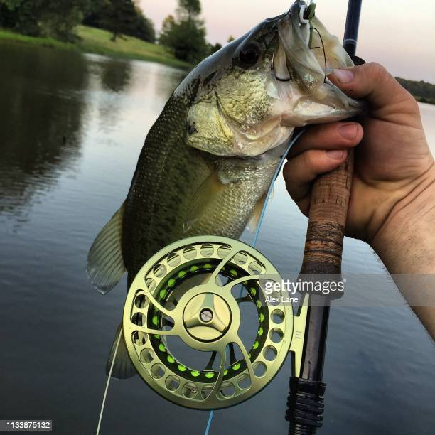 largemouth on a fly - largemouth bass stock pictures, royalty-free photos & images