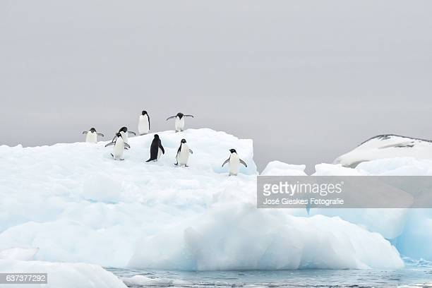 larger group adelie penguins on top of a block of blue ice in antarctica - adelie penguin stock pictures, royalty-free photos & images