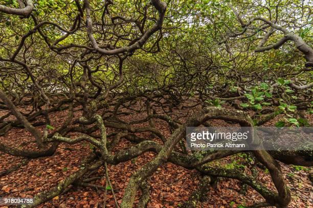 largest cashew nut tree in the world, rio grande do norte, brazil - brazil nut - fotografias e filmes do acervo