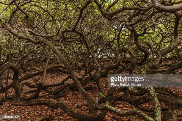 largest cashew nut tree in the world, rio grande do norte, brazil - brazil nut stock photos and pictures