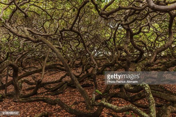 Largest Cashew Nut Tree in the World, Rio Grande Do Norte, Brazil
