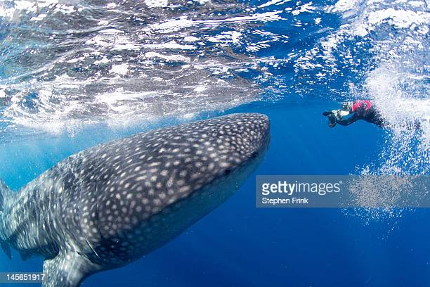 Largest Extant Fish, Whale Shark
