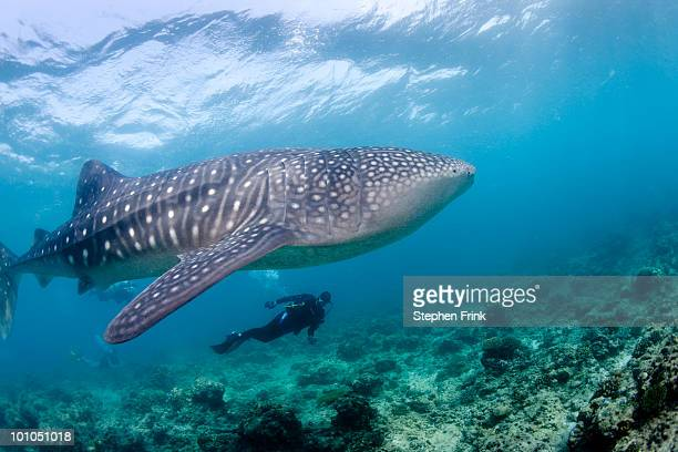 largest living fish species, whale shark - whale shark stock pictures, royalty-free photos & images