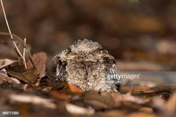 large-tailed nightjar - nightjar stock photos and pictures