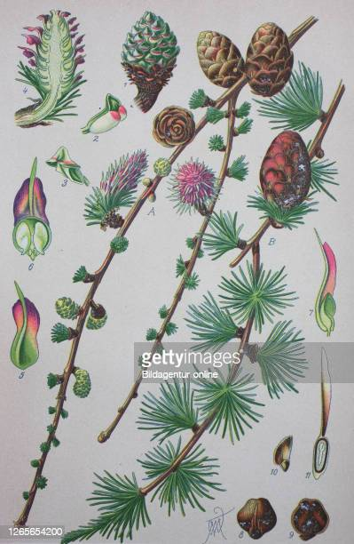 Larix decidua, the European larch, is a species of larch native to the mountains of central Europe / Europäische Lärche, digital improved...