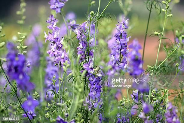 larkspur flowers (delphinium consolida) - delphinium stock pictures, royalty-free photos & images