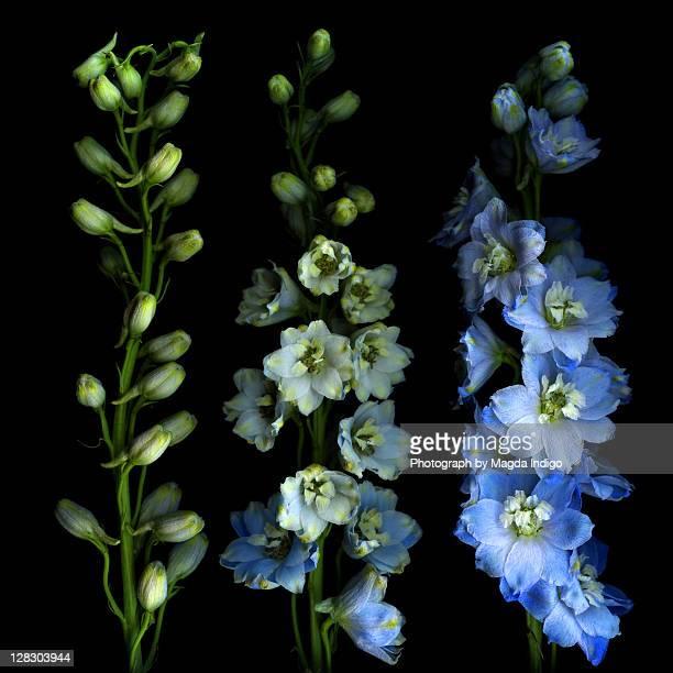 larkspur from bud to flower - delphinium stock pictures, royalty-free photos & images