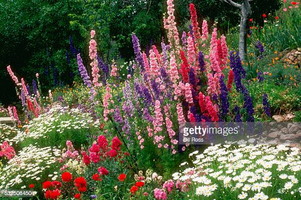 larkspurs in a flower garden - delphinium stock pictures, royalty-free photos & images