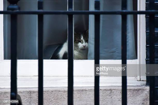 Larry official No 10 mouser is pictured at 10 Downing Street london on January 30 2019