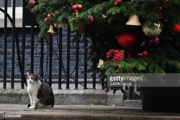 Larry the 10 Downing Street cat is seen under the Christmas tree outside 10 Downing Street in central London on December 2, 2020. - Britain's Prime...