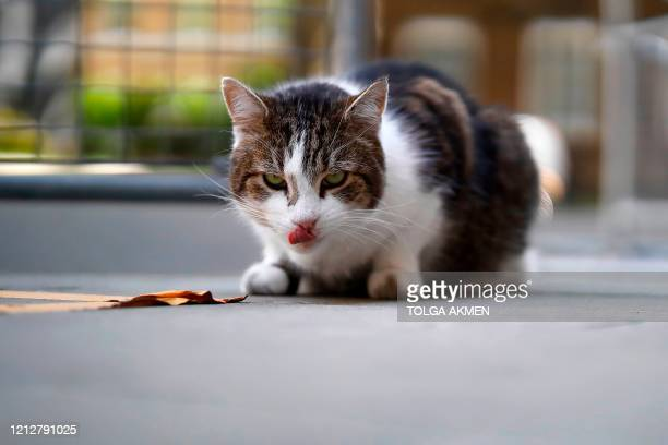 Larry, the 10 Downing Street cat, waits in the street outside number 10, the official residence of Britain's Prime Minister, in central London on May...