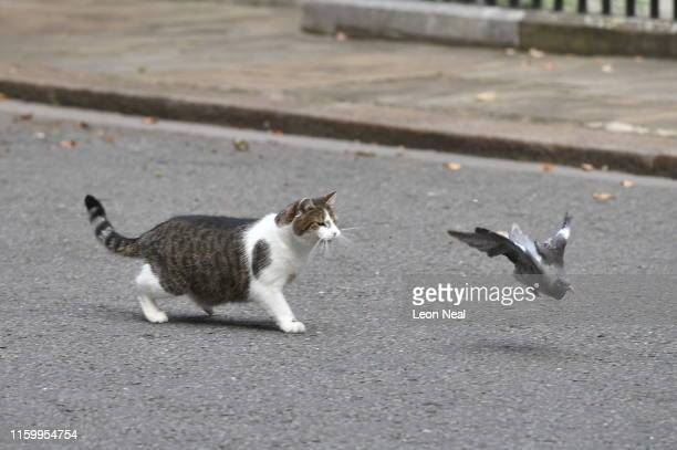 Larry the cat chases a pigeon in Downing Street on August 06 2019 in London England