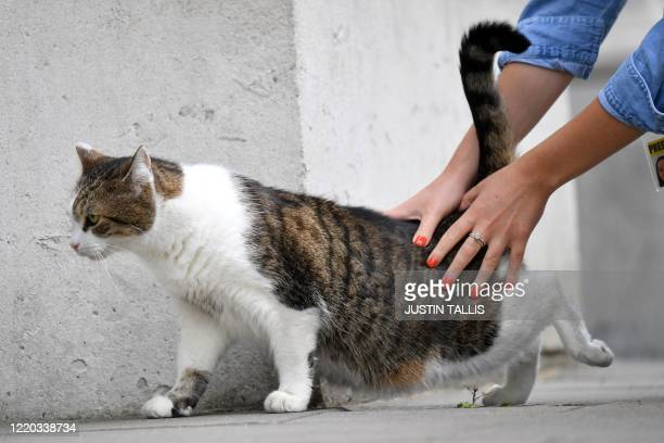 Larry the cat is stroked by a journalist in Downing Street, central London on June 16, 2020. - UK jobless claims more than doubled at the height of...